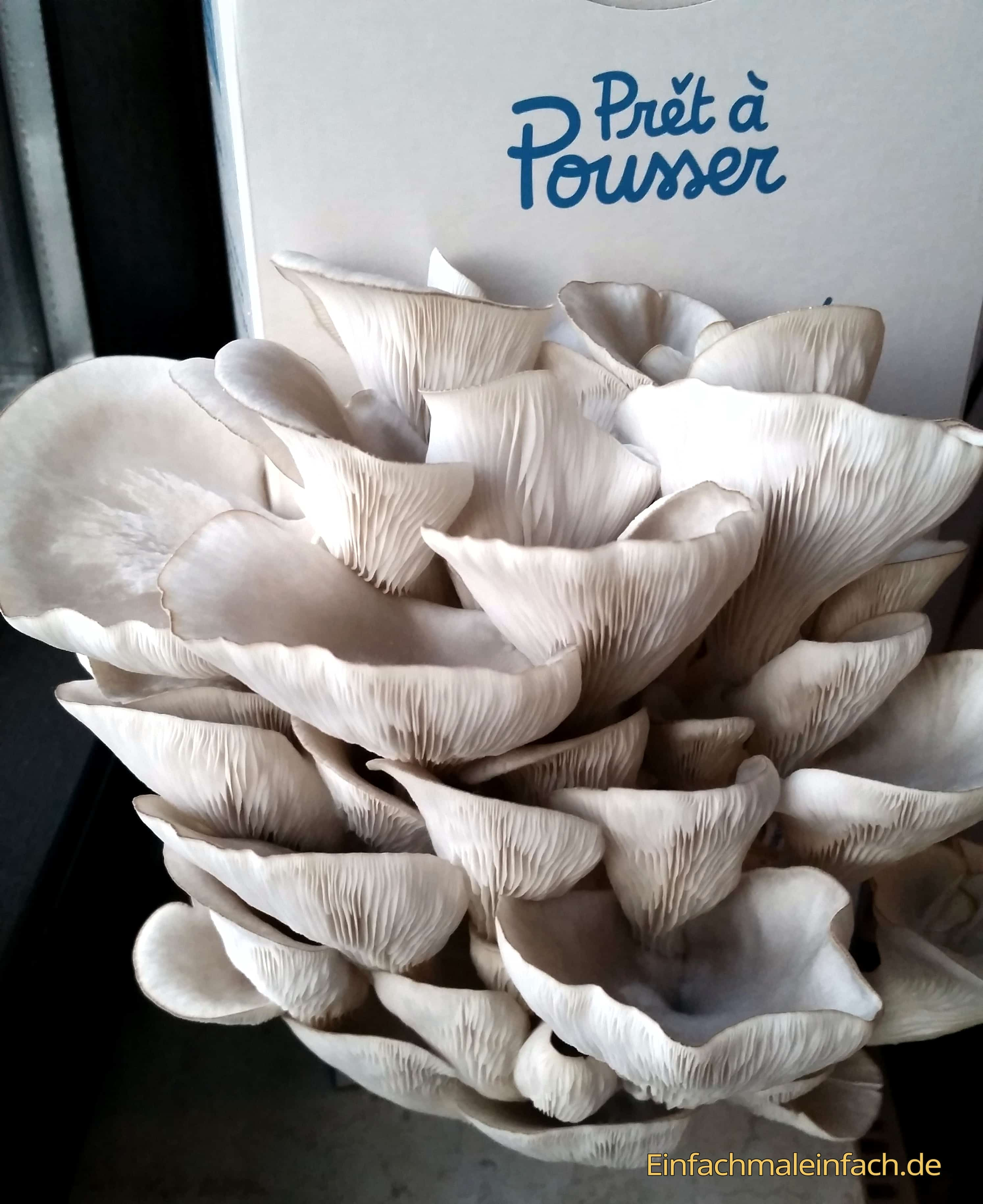 Pilzsoßenbasis-Pilzsuppe-einfach-selbstgemacht-Austerseitlinge-13